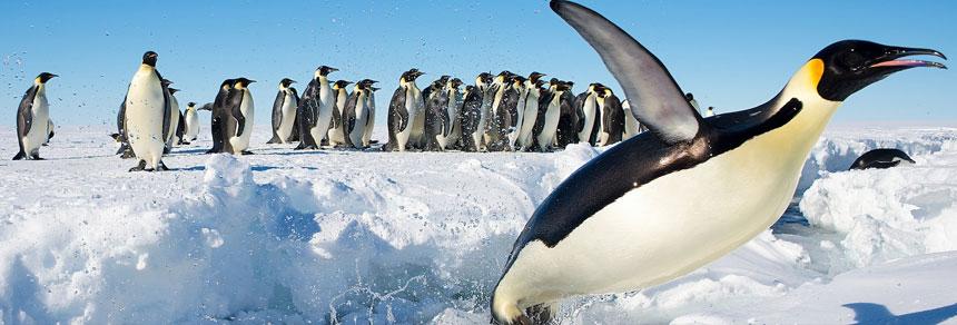 pinguino rey Antarctica